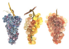 Set Of Watercolor Illustration Of Bunches Of White And Black Grapes. Hand Drawn Watercolor Illustration.