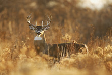 Whitetail Buck In Golden Light
