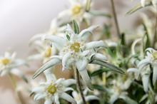 White Leontopodium Nivale, Ede...