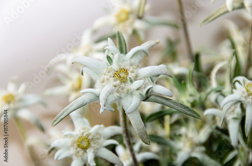 Obraz na plátně White Leontopodium nivale, edelweiss mountain flowers, close up