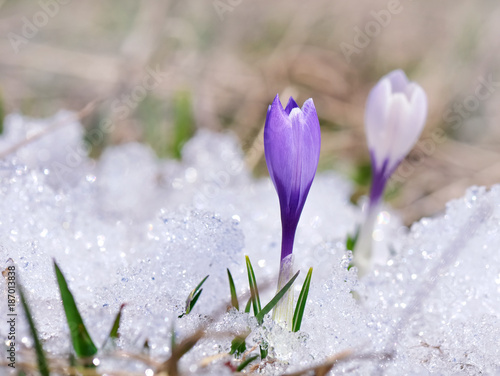 Foto op Plexiglas Krokussen close on purple crocus in the snow