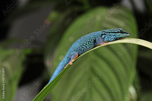 Himmelblauer Zwergtaggecko (Lygodactylus williamsi) - turquoise dwarf gecko
