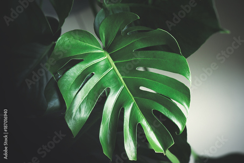 Dark Green Leaves Of Monstera Split Leaf Philodendron Tropical Foliage Plant Growing In Wild Floral Background Top View In Dark Tone Toned Picture Filter Applied Wall Mural Alekosa Large leaf plants not only turn heads and make statements, but they are also read our plant stylists tips for how to style with statement plants, how to care for tropical indoor plants, and which tropical. dark green leaves of monstera split leaf philodendron tropical foliage plant growing in wild floral background top view in dark tone toned