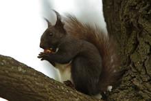 Bryant Black Squirrel (Sciurus...