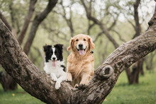 Cute Adorable Black And White Border Collie And Golden Retriever At The Tree