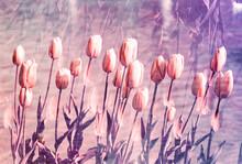 Purple Tulip Garden By Water O...