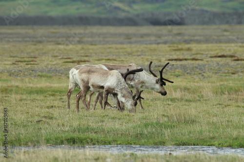 Papiers peints Scandinavie Reindeer, Caribou, Iceland