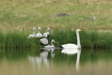 Whooper Swans With Chicks (Cyg...