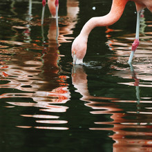 Foraging Flamingos