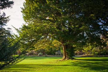 Fototapeta Old yew tree in formal garden