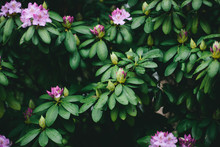 Rhododendron Blooming And Leaves