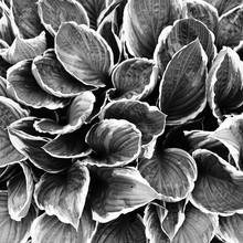 Hosta Plant Foliage In Black And White