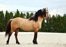 Paso Fino Horse In Stud Farm