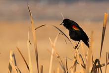 Red-winged Blackbird On Grass Perch Showing Wing Bar Colors