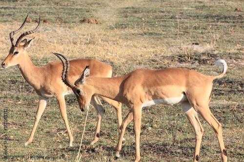 Antelope Impala Moremi Nature Reserve Botswana