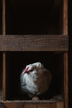 White Hen Laying Eggs In Nest Box