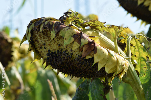 Foto auf AluDibond Sonnenblume Helianthus annuus Solros Auringonkukka ヒマワリ Seme Zonnebloem Tournesol Girasole Almindelig solsikke Sunflower seed Sonnenblume دوار الشمس