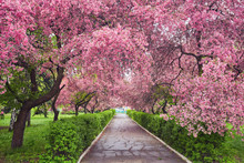 Park With Alley Of Blossoming ...