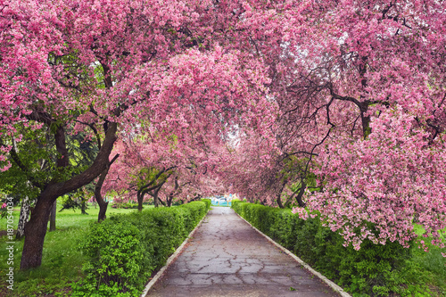Carta da parati Park with alley of blossoming red apple trees.