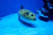 arothron nigropunctatus yellow. fugy fish