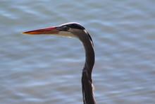 Great Blue Heron Portrait Profile