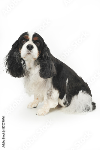 Fotomural King Charles Cavalier staring blankly into camera