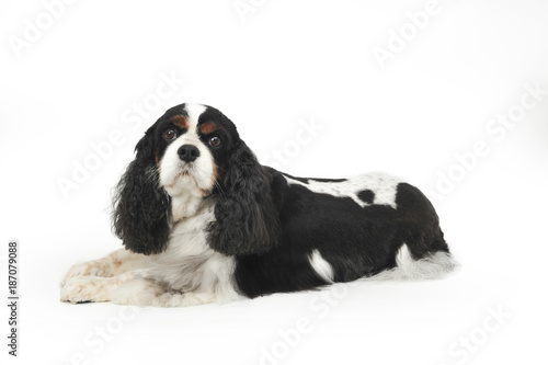 King Charles Cavalier laying down looking at camera Wallpaper Mural