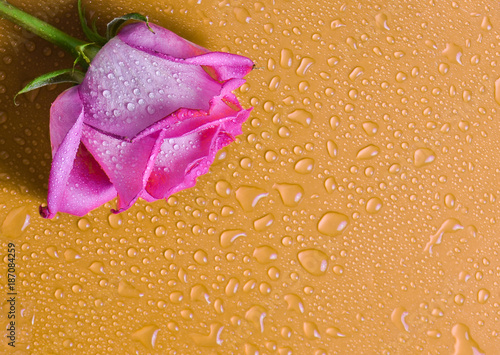 Photo Pink rose bud on an orange surface in drops of water