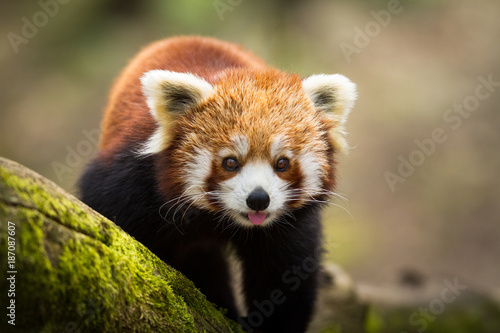 La pose en embrasure Panda Red Panda - Panda Roux