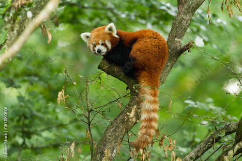 Red Panda - Panda Roux Canvas Print