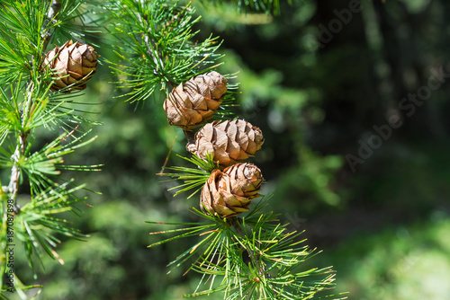 Sprig of European Larch (Larix decidua) with pine cones on blurred background and copy space on the right. Photo taken in the summer on the Alps. The larch is the only deciduous European conifer