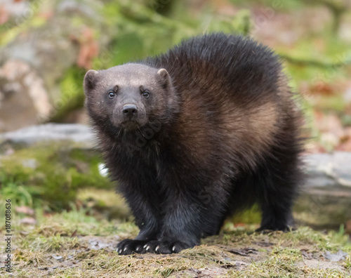 Fotomural  Wolverine - Glouton