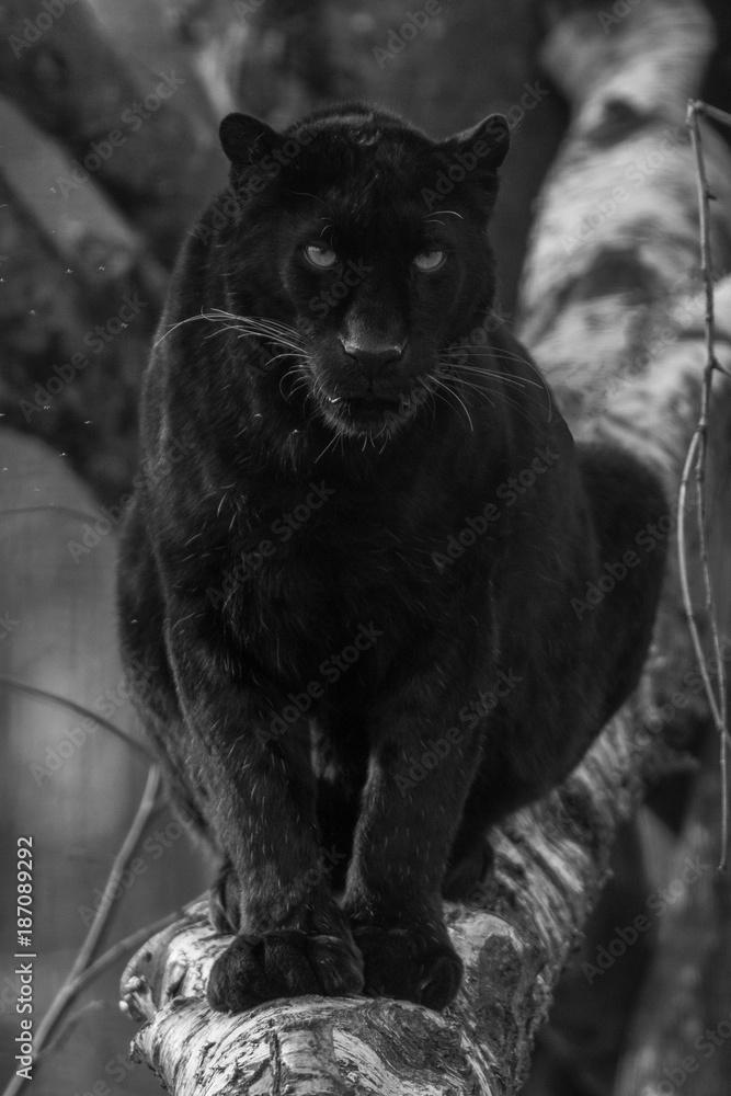 Fond De Hotte En Verre Imprime Black Panther Panthere Noir