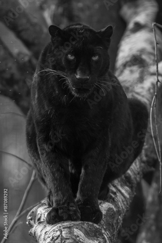 Photo Stands Panther Black Panther - Panthère Noir