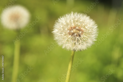 Fotografie, Obraz  Common dandelion clock - Taraxacum officinale