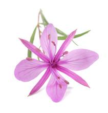 Pink Alpine Willowherb Flower