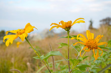 Mexican Sunflower From Phu Pa ...