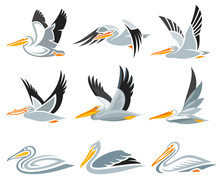 Set Of Pelicans In Different S...