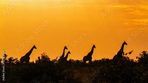 Obraz na płótnie Żyrafa w Kruger parku narodowym, Południowa Afryka