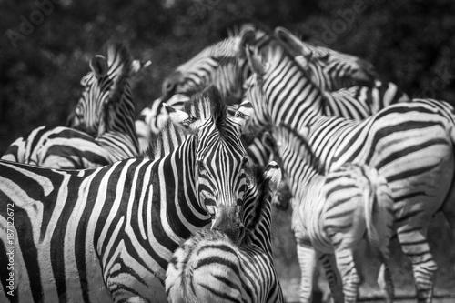 rowniny-zebra-w-kruger-parku