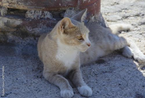 Dziki Jasno Beżowy Kot Leży W Cieniu Kaufen Sie Dieses Foto Und