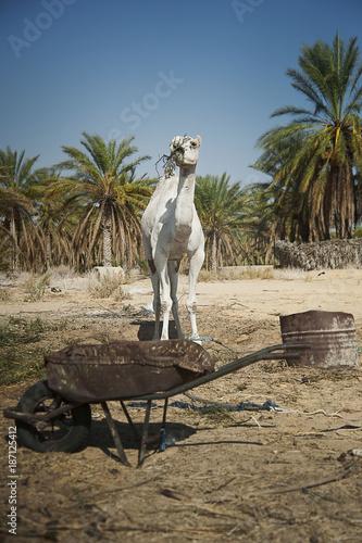 camel near oasis
