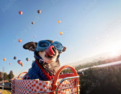 Aluminium Prints Bicycle an adorable chihuahua in a bicycle basket at a hot air balloon launch fesival at sunrise licking his nose and wearing a knitted sweater and goggles, toned with a retro vintage instagram filter