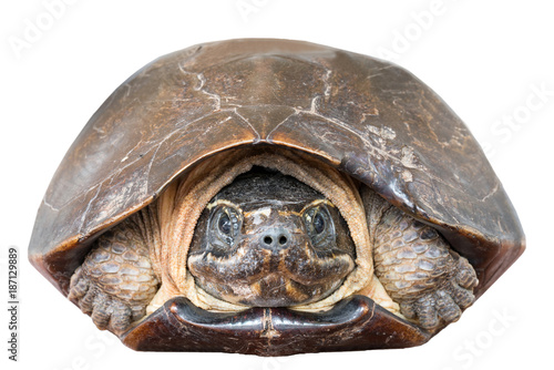 Poster Tortue Close up of Malayemys Face isolate on white background. Malayemys is a genus of turtle.