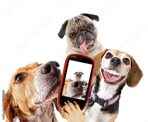 Obraz na plátne  cute beagle looking at the camera while taking a selfie with another beagle and