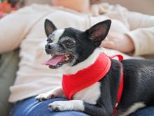 Cute Chihuahua Being Held In H...