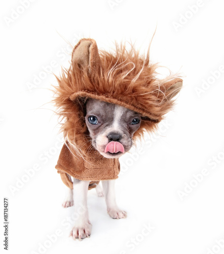 фотография photo of a cute french bulldog puppy in a lion costume licking his nose studio s