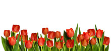 Red Tulip Flowers In Decorativ...