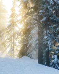 Fototapeta Christmas evergreen pine trees in the snowin winter forest sunny day.