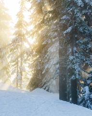 Fototapeta Skandynawski Christmas evergreen pine trees in the snowin winter forest sunny day.